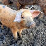 Pig Dinah